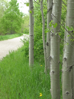 Close-up of aspens with trail in the background