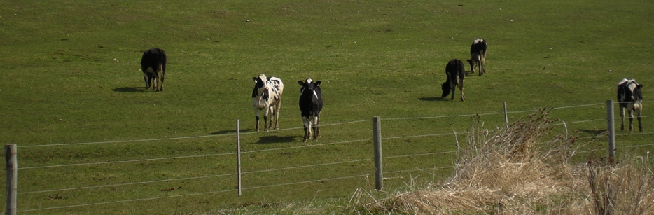 Curious cows peering toward the trail